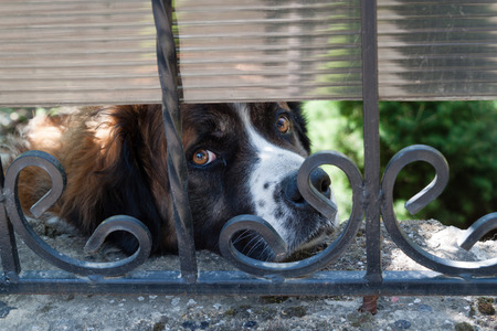 bernard: Sad dog breed Saint  Bernard looks through iron bars.