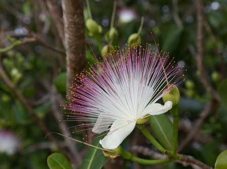 asiatica: Flower Barringtonia asiatica, Fish Poison Tree, Sea Poison Tree , closeup , on blurred gray green background Stock Photo