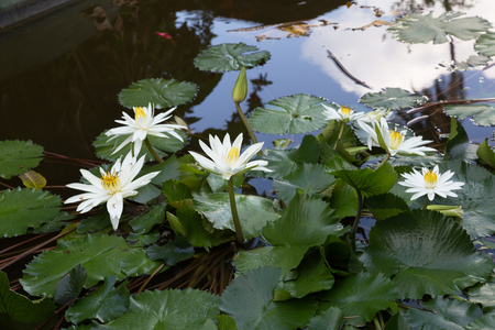 lotos: Flowers White Lotus in ornamental pond