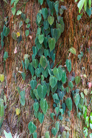 texture twisted: Twisted shoots of evergreen ivy and roots of tropical vines on  tree trunk background. Woody vegetation texture.