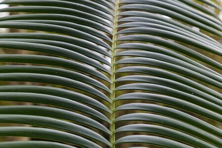 cycas: leaf tropical tree - palm ( cycas revoluta ) closeup on the blurry green background.