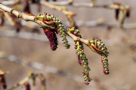 amento de los álamos cercano para arriba en fondo natural borroso. flor de primavera. Foto de archivo