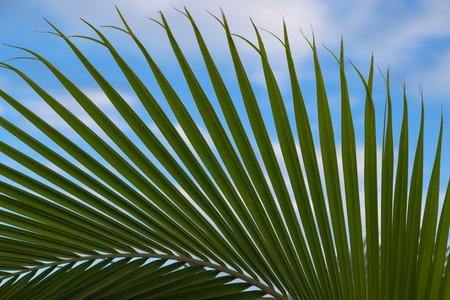leaf close up: palm leaf close up on blue sky background