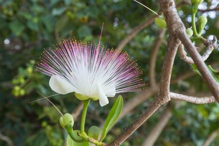 Flower Barringtonia asiatica, Fish Poison Tree, Sea Poison Tree closeup on natural  blurred green background . Fiji.