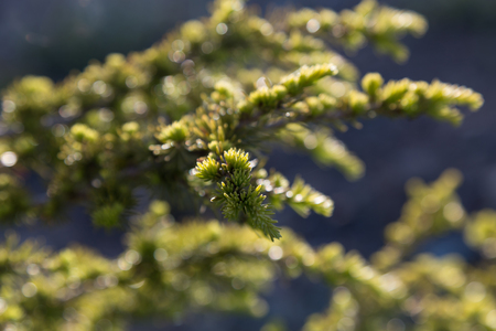 needles on branch  spruce with bokeh background, macro, selective focus, Picea abies Stock Photo
