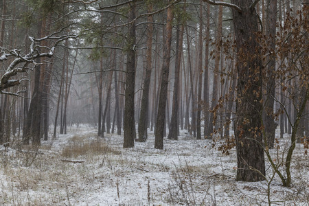 Fog in the winter coniferous forest. First snow. Winter landscape . 스톡 콘텐츠