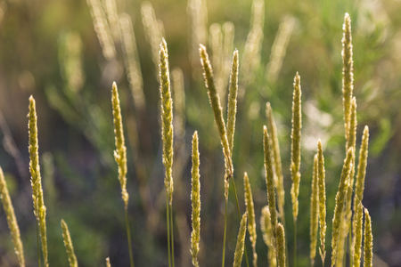 Spikes of wildflowers - perennial grasses on a meadow on a natural blurred background in sunlight. Summer at meadow