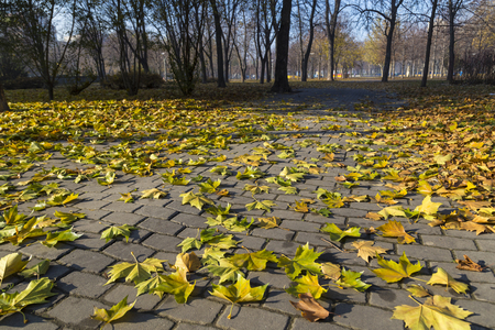 Autumn in the city park.  Fallen leaves of maple on the ground. Dnipro. Ukraine