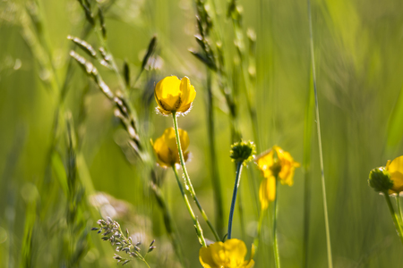 Wild yellow  flowers and perennial herbs in sunny meadow on blurred backdrop, selective focus.  Morning field background in sunlight.