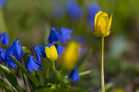 Die ersten blauen und gelben Blumen auf der Frühlingswiese Nahaufnahme auf unscharfem Hintergrund. Scilla bifolia und Caltha palustris. Natur im Frühling