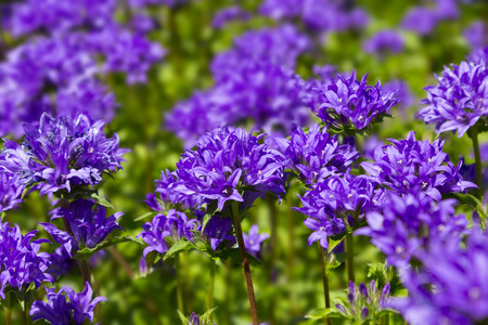 Campanula glomerata, clustered bellflower or Dane's blood. Blue flowers in sunlight in the garden, close-up, selective focus. City summer flowers. Floral background.