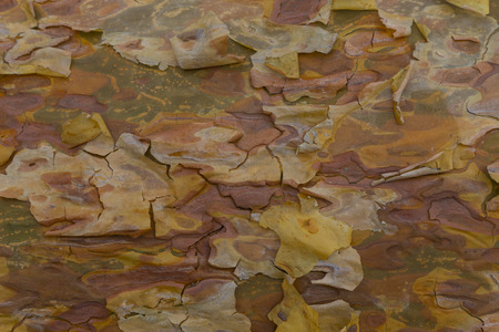 Bark closeup. Beautiful colorful wood texture of coniferous wood. Surface of exfoliating bark of pine tree close-up. Natural wood texture. Abstract background