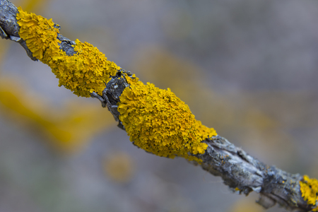 Xanthoria parietina ( common orange lichen, yellow scale, maritime sunburst lichen and shore lichen ) on the bark of tree branch. Thin dry branch with orange  lichen, close-up,  on blurred background Stock Photo