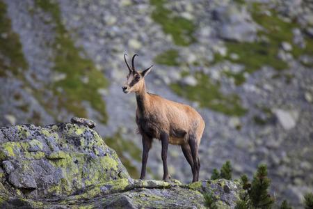Animal sauvage : Chamois , Kamzik ( Rupicapra rupicapra ) , espèce de chèvre-antilope dans les Tatras dans l'environnement naturel de près. Animal dans la nature des Tatras, Slovaquie, Europe