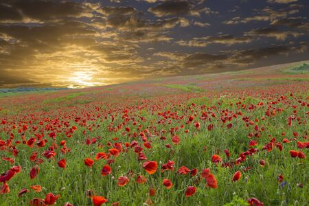 Landscape with beautiful golden sunset over poppy field. Red poppies on the summer meadow.