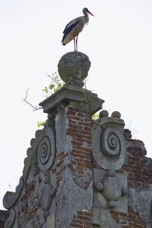 White stork ( Ciconia ciconia )  on the ruins of an old castle close-up. Ukraine. Stare Selo castle.