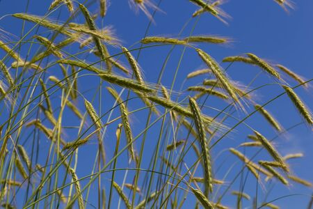 Spikelets of wheat close-up against the blue sky. Banco de Imagens