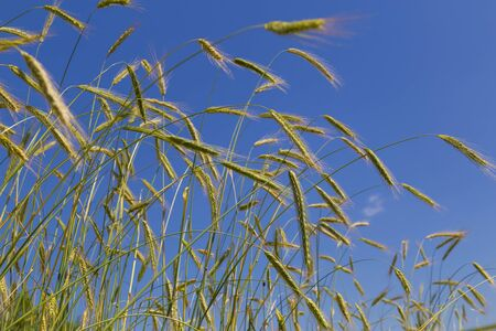 Spikelets of wheat close-up against the blue sky. Ears of wheat grow in a field . Wheat crop.