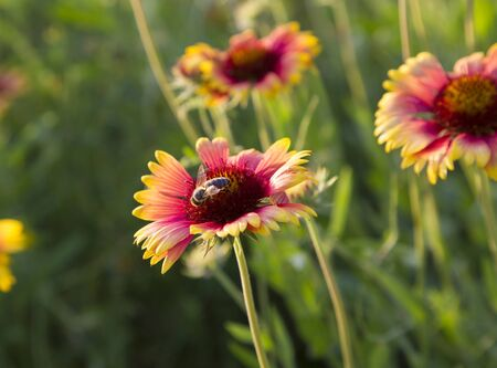Rudbeckia flowers and bee close-up on a sunny summer meadow. Banco de Imagens