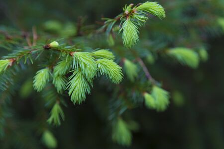 Branch spruce with fresh green needles with dew drops on blurred natural background, macro, selective focus. Banco de Imagens