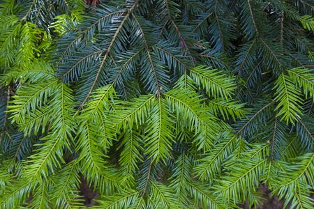 Branch of fir tree with fresh green needles close-up.