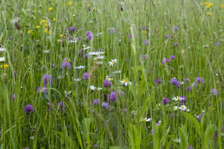 Summer flowering meadow. Wild flowers, perennial herbs and green grass on field.