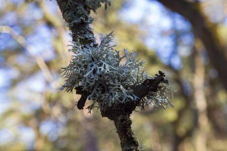 Evernia prunastri, oakmoss, gray lichen on branch close-up on blurred nature background.