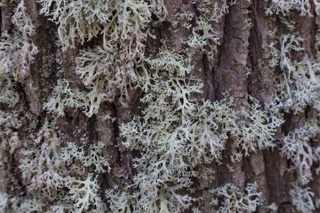 Gray lichen on brown oak bark close-up, textured surface, abstract background, texture 写真素材