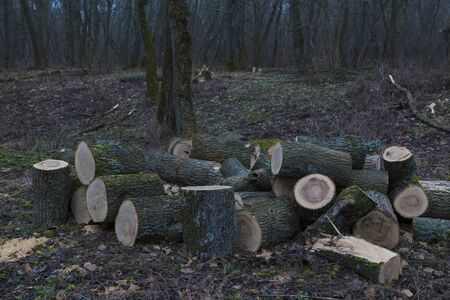 Deforestation, forest clearing, in leafless deciduous forest. Sawn tree trunks in the forest.  Freshly cut trees. Pile of firewood. Samara forest. Ukraine, Dnipropetrovsk region. Stock Photo