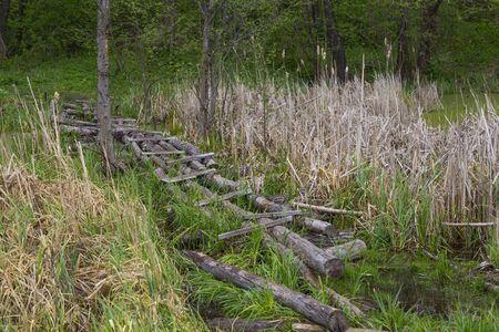 Overflow land. Old wooden foot bridge among the reeds on forest swampr. Landscape on the river. Ukraine