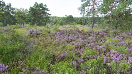 Hoge Kempen National Park in Flanders, Belgium at summer. Heath land among pine forest. Moor land. Beautiful european nature.  Standard-Bild