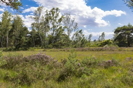 Hoge Kempen National Park in Flanders, Belgium at summer. Heath land among  trees. Beautiful european nature.  Standard-Bild