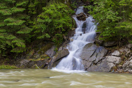 Small mountain stream flowing among a green forest, influent into a fast river. Carpathians. Ukraine