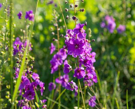 Wild blue flowers Delphinium elatum. Larkspur flowers. Summer blooming meadow. Flowering field in the sunlight on blurred green background.
