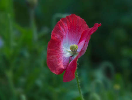 Papaver. Single red poppy flower close-up on a blurred natural green background in the sunlight. Flower in the meadow. Summer flowers. Natural floral background.