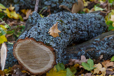 Freshly cut trees, pile of firewood, logs, overgrown oakmoss (evernia prunastri), in autumn forest.