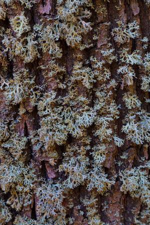 Evernia prunastri, oakmoss lichen. Gray lichen on brown oak bark close-up, textured surface, abstract background, natural texture