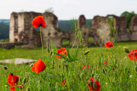 Red poppies in green grass against the background of the destroyed walls of an ancient castle. Pidzamochok. Western Ukraine