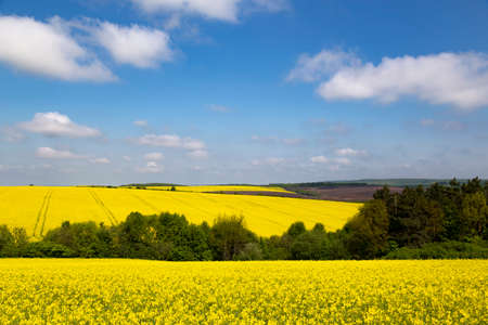 Panorama of flowering rapeseed fields on the hills among green trees. Yellow rape. Agricultural field of yellow rapeseed against the cloudy sky. Rural landscape. Ukraine. Europe