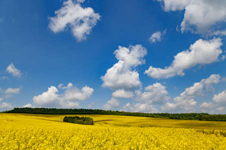 Panorama of flowering rapeseed fields on the hills among green trees. Rape. Agricultural field of yellow rapeseed against the cloudy sky. Rural landscape. Ukraine. Europe