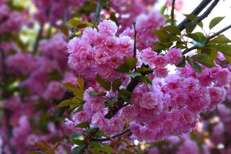 Cherry blossoms, blossoming sakura branches. Blooming double pink Japanese cherry (sakura) flowers, close-up. Prunus serrulata Kanzan at spring