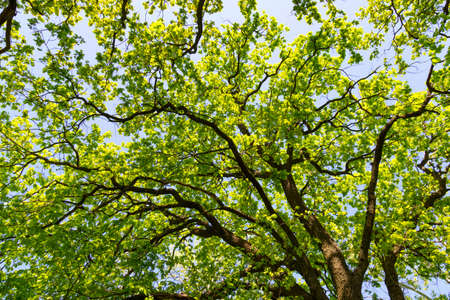 Oak foliage on tree at summer. Tree crown against blue sky with sunlight filtering through the leaves. Quercus robur.