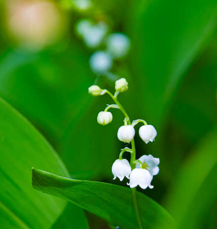 Lily of the valley, may lily, in spring forest. Spring flower Convallaria majalis close-up