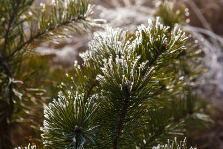 Pine branches covered with hoarfrost in sunlight against blurred natural background, close-up. Winter in forest