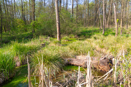 Summer landscape with a picturesque swamp in the forest. Marshy terrain. The ecosystem of the swamp. Forest tract Kotovo. Poltava region, Ukraine