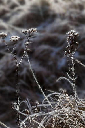 Rime on the dry grass at winter. Crystals of frost on dry flowers. Frozen herb covered with frost on natural gray blurred background. Black and white photo