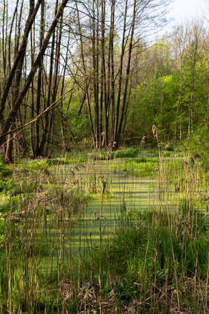 Summer landscape with a picturesque swamp in the forest. Swampy terrain. The ecosystem of the swamp. Forest tract Kotovo. Poltava region, Ukraine