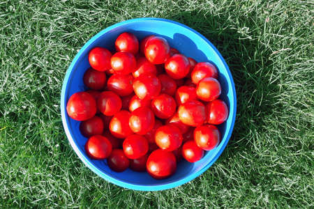 Delicious and healthy fresh aromatic vegetables from the garden, organic vegetarian raw food. A lot of red fresh-picked tomatoes are lying in a blue bowl in the grass.