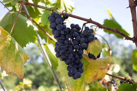Clusters of red grapes on a vine. The harvest of the grapes. Viniculture. Banco de Imagens