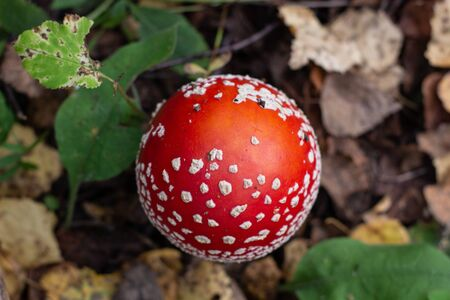 Autumn mushrooms fly agaric in the autumn forest. Closeup of fly agaric mushrooms. Amanita muscaria.